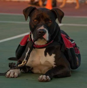 Enlighten Dogs, dog training, dog trainer, pitbull, yucaipa, beaumont, banning, redlands