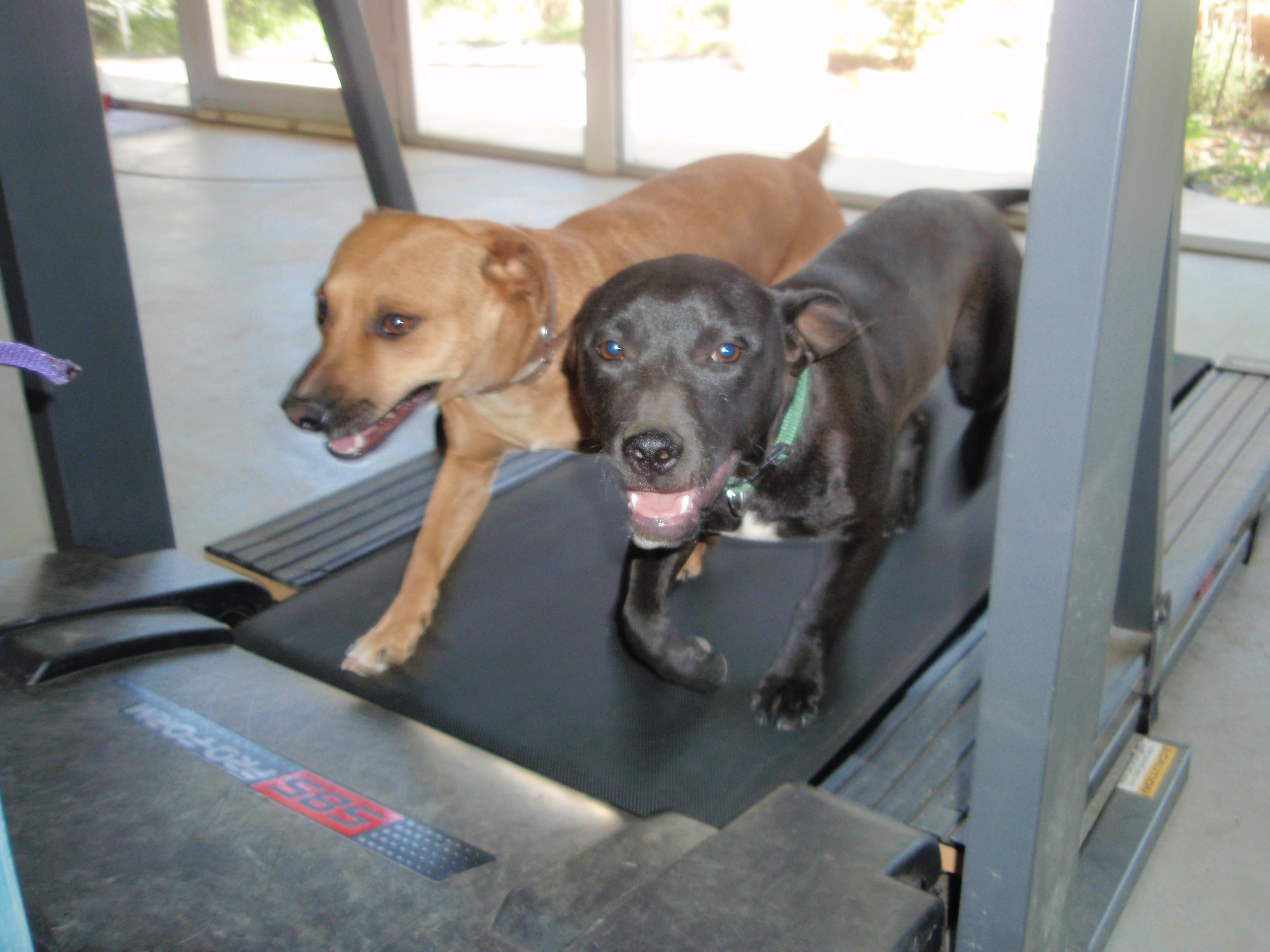 treadmill traing by enlighten dogs